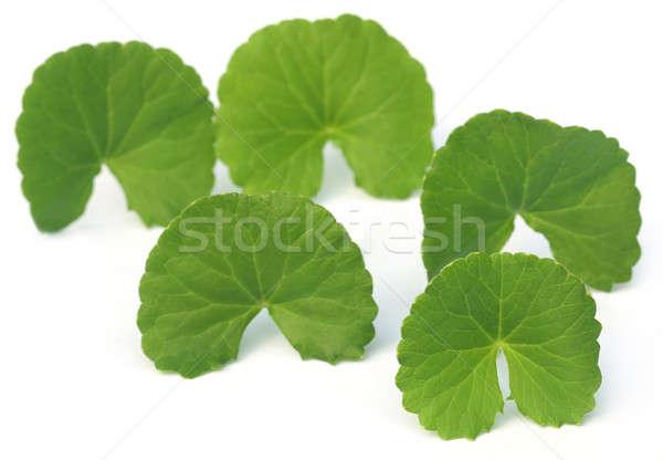 Laisse sous-continent indien blanche alimentaire feuille Photo stock © bdspn
