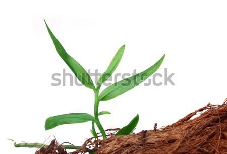 кукурузы рассада белый фон области зеленый Сток-фото © bdspn