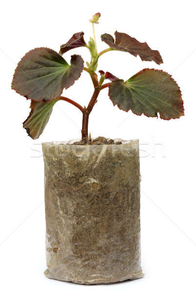Growing seedling in a Polyethylene bag Stock photo © bdspn