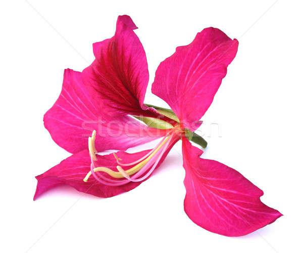 Bangladesh árvore primavera jardim beleza vermelho Foto stock © bdspn