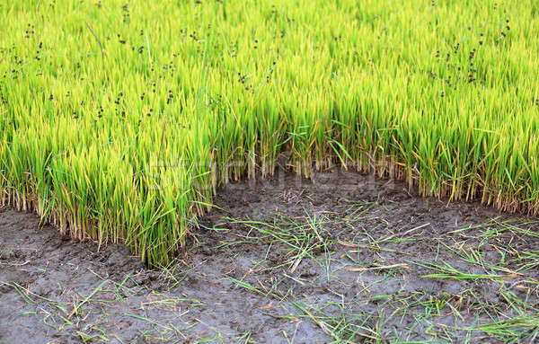 Green rice seedlings Stock photo © bdspn