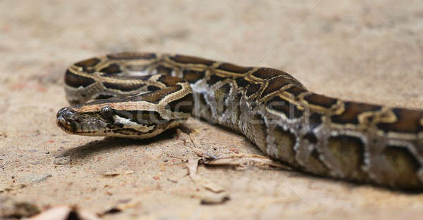 Python sol nature fond balle Photo stock © bdspn