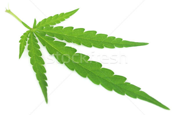 Marijuana leaf Stock photo © bdspn