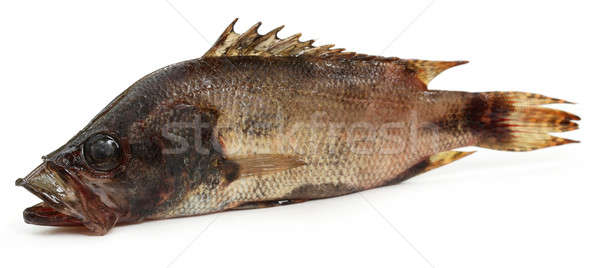 Mottled Nandus or veda fish of Sout Asia Stock photo © bdspn