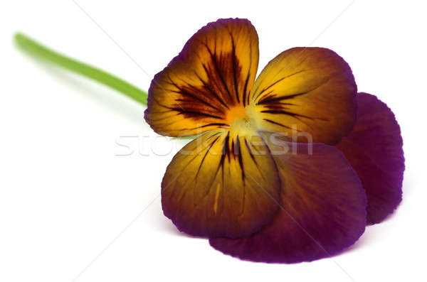 Viola flower Stock photo © bdspn