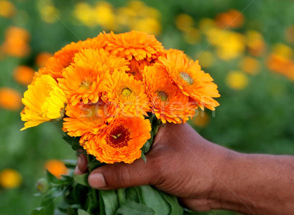 Bunch of calendula in hand Stock photo © bdspn