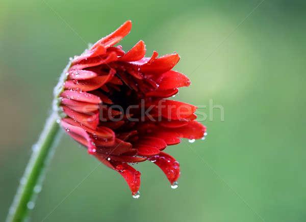 Rain soaked blooming Gerbera Stock photo © bdspn