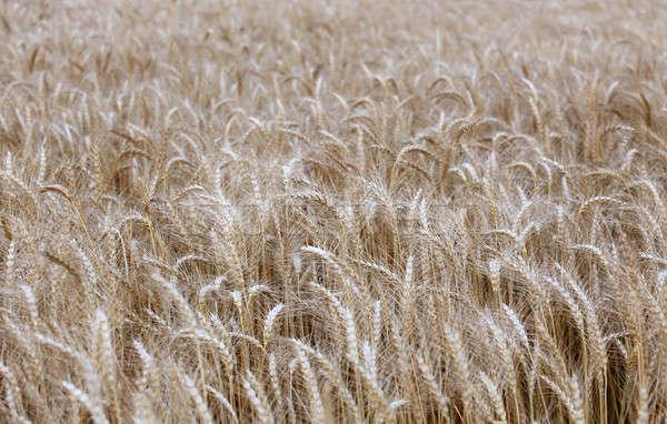 麦畑 時間 収穫 食品 フィールド パン ストックフォト © bdspn