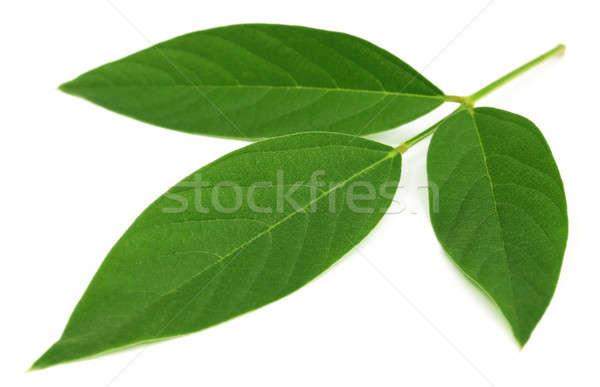 Pombo folhas branco natureza verde Foto stock © bdspn