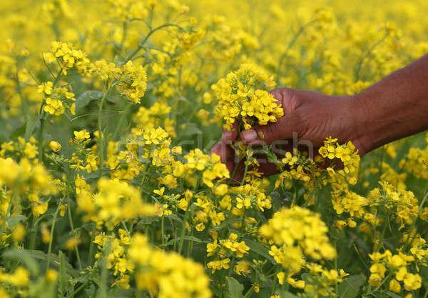 Mustár mező kéz tart sárga virágok tájkép Stock fotó © bdspn