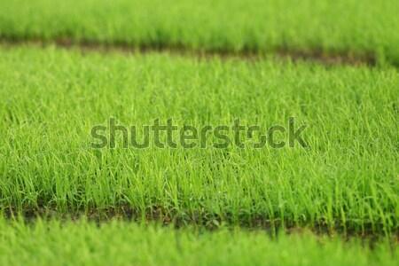Zöld palánták Banglades absztrakt természet nyár Stock fotó © bdspn