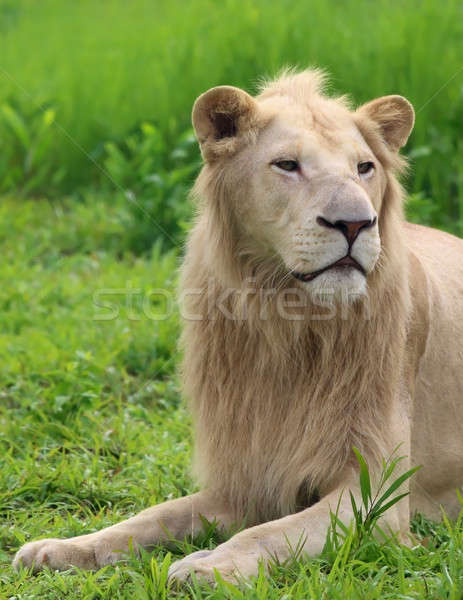 White lion Stock photo © bdspn