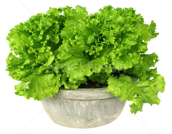 Lettuce in a tub Stock photo © bdspn