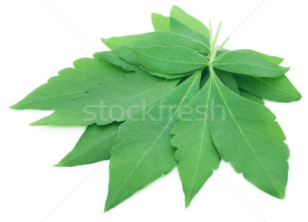 Vitex Negundo or Medicinal Nishinda leaves  Stock photo © bdspn