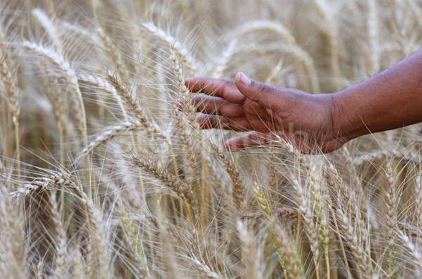 Stock fotó: Búzamező · gazdák · kéz · idő · aratás · étel