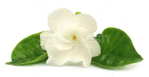 Flor subcontinente indiano branco primavera jardim fundo Foto stock © bdspn