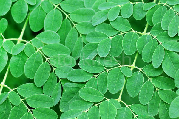 Moringa leaves background Stock photo © bdspn