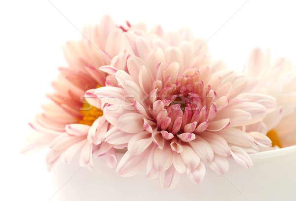 Stok fotoğraf: Krizantem · beyaz · çiçek · yaprak · yaz · kırmızı