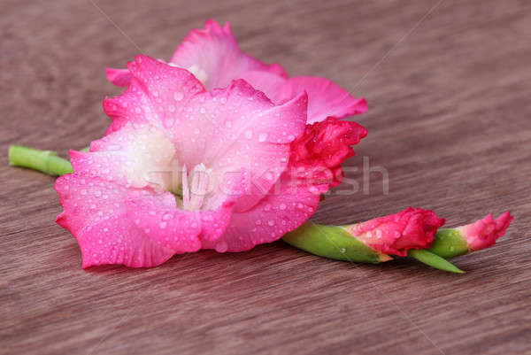 Gladiolus flower of pink color Stock photo © bdspn