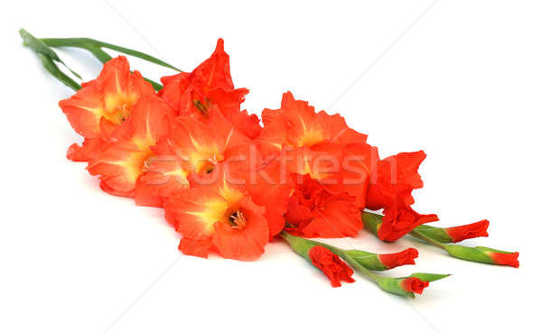 Gladiolus Stock photo © bdspn