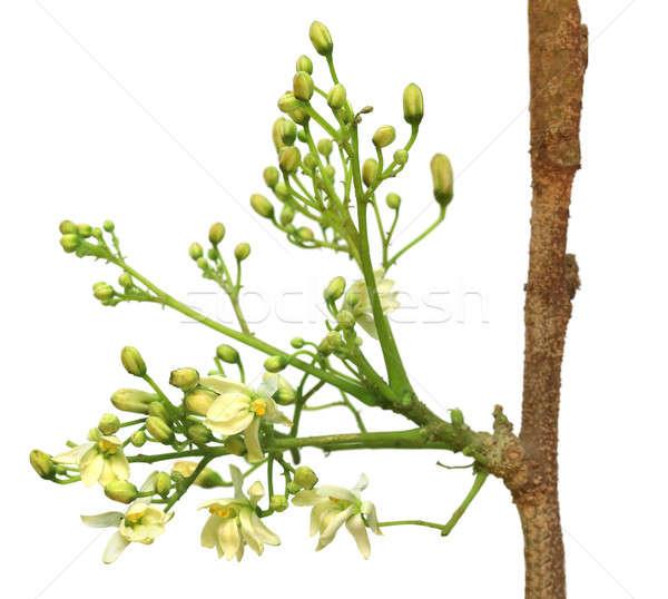 Commestibile fiore bianco albero foresta natura Foto d'archivio © bdspn