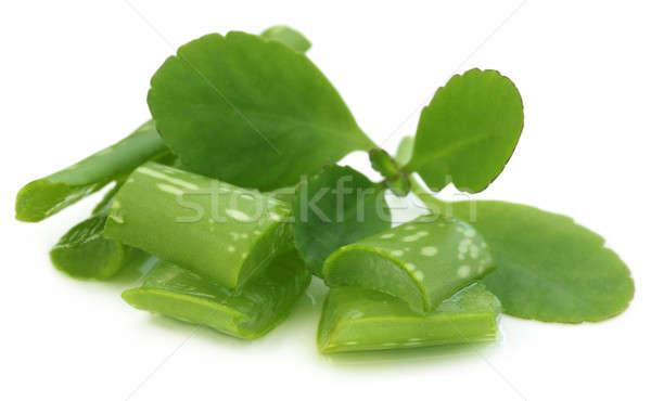 Aloe Heilkräuter Schönheit grünen Medizin Anlage Stock foto © bdspn