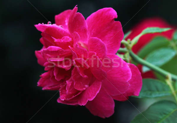 Wzrosła ogród blisko kwiat świetle roślin Zdjęcia stock © bdspn