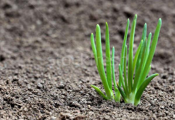лука завода плодородный почвы саду области Сток-фото © bdspn