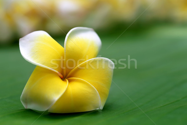 Close up of frangipani Stock photo © bdspn