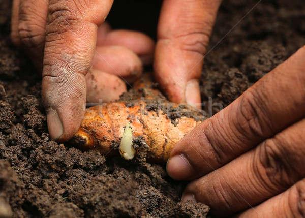 Planting turmeric Stock photo © bdspn