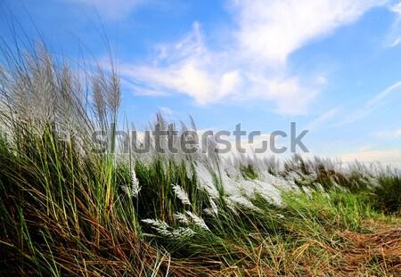 Saccharum spontaneum or Kans grass Stock photo © bdspn