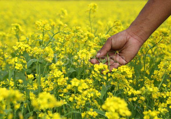 Mostarda campo agricultores mão flores paisagem Foto stock © bdspn