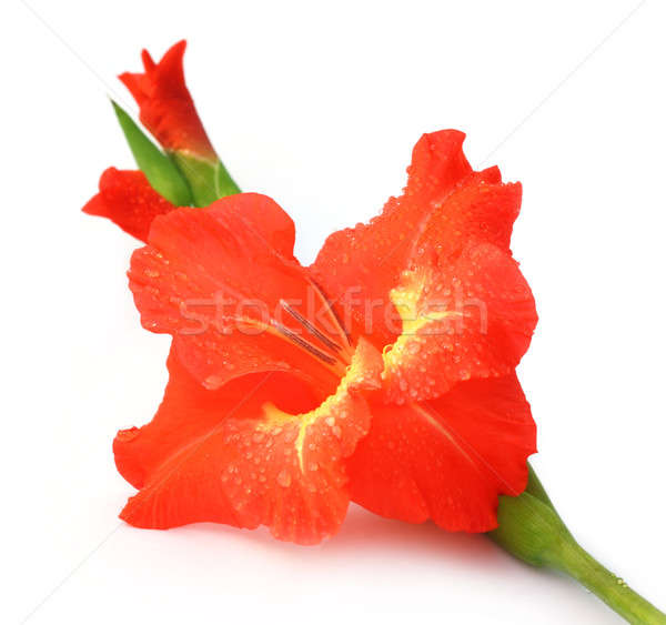 Closeup of red gladiolus Stock photo © bdspn