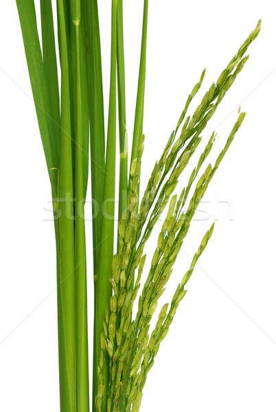 Green paddy Stock photo © bdspn
