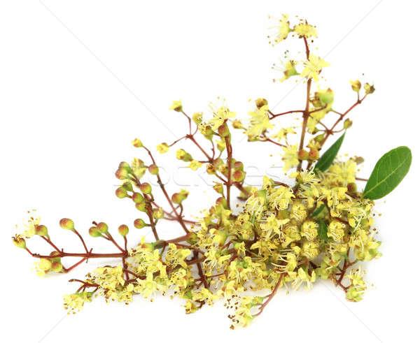 Kına çiçek beyaz doğa meyve yaprakları Stok fotoğraf © bdspn