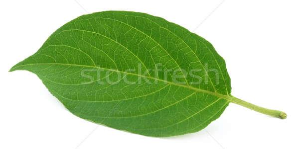 Medicinal gondho badali of Indian subcontinet Stock photo © bdspn