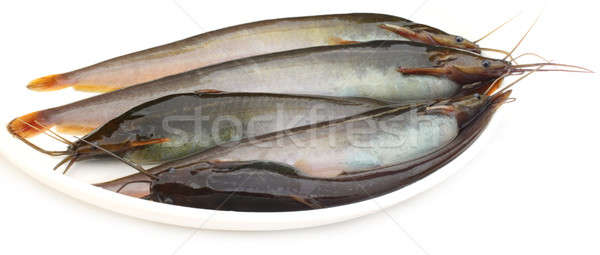 Stinging Catfish of Southeast Asia Stock photo © bdspn