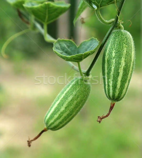 Green pointed gourd Stock photo © bdspn