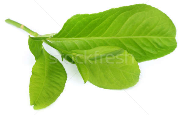 lemon leaves  Stock photo © bdspn