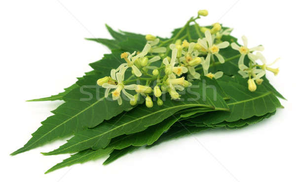 Medicinal neem leaves and flower Stock photo © bdspn