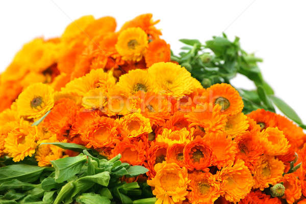 Large bunch of calendula Stock photo © bdspn