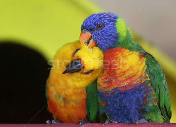 Pair of parrots Stock photo © bdspn
