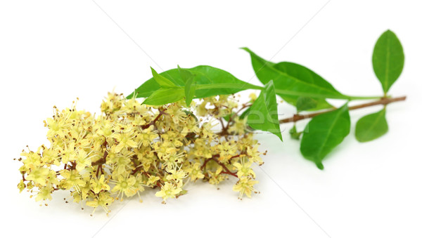 Henna flower with leeaves Stock photo © bdspn