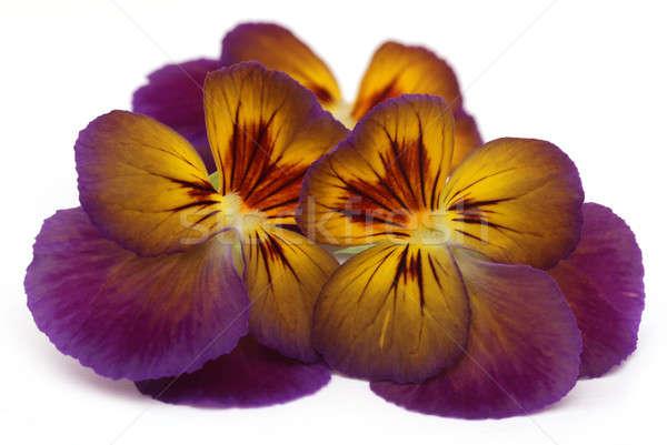 Viola flower Stock photo © bdspn