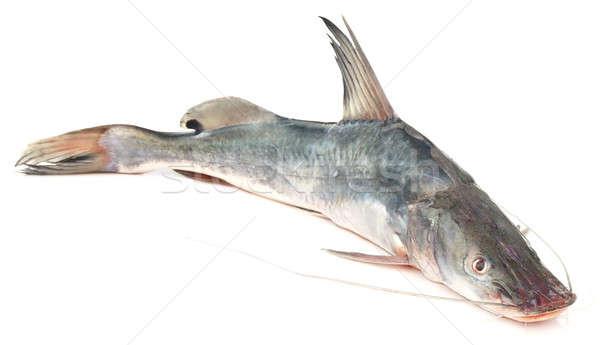 Long-whiskered catfish Stock photo © bdspn