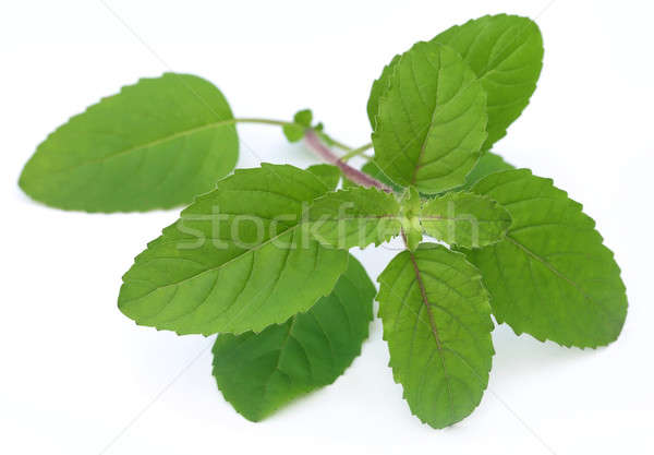 Medicinal red tulsi leaves Stock photo © bdspn