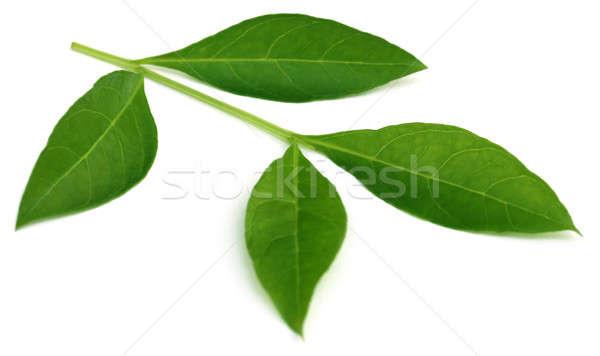 Henna levelek fehér természet növény folt Stock fotó © bdspn