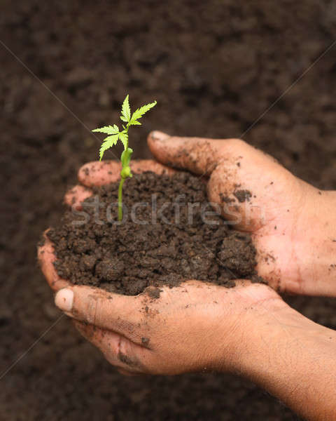 Tender medicinal neem plant Stock photo © bdspn