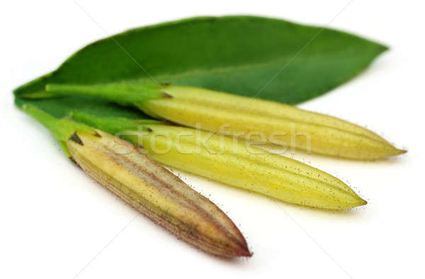 Ayurvedic medicinal Chirata pods with green leaf Stock photo © bdspn