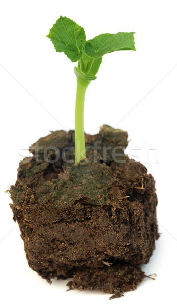 Newly born seedling of green momordica Stock photo © bdspn